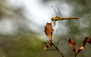 Libellule en automne