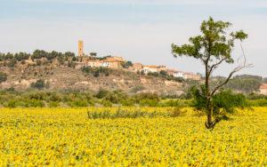 Champ de tournesol devant le vieux village de Montady