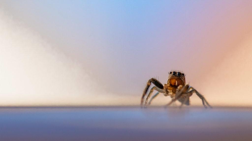 Petite araignée Saltique