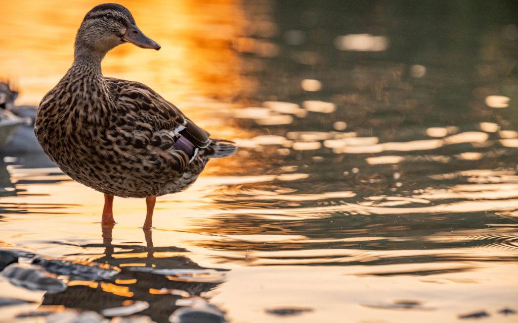 Canard dans le Canal du Midi