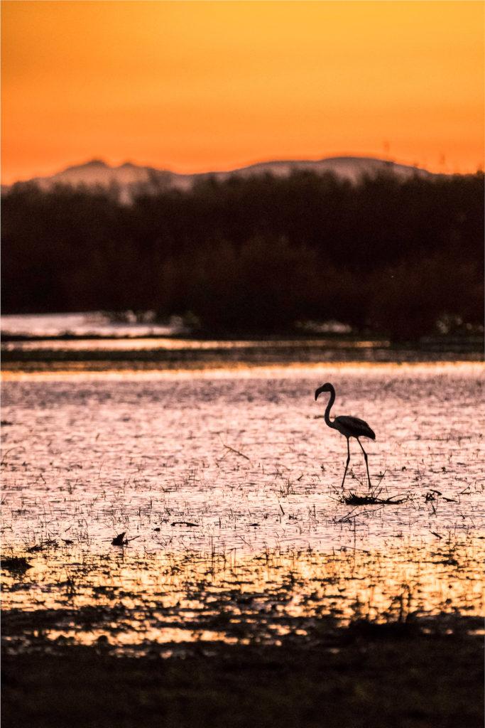 Flamant rose au crépuscule dans l'étang de Capestang