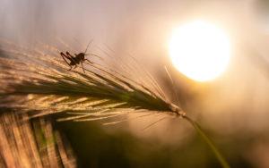 Sauterelle sur un épi de blé