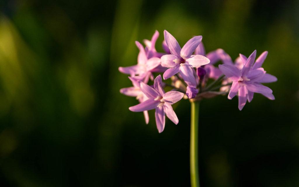 Fleurs de garrigue