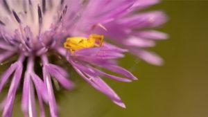 Petite araignée jaune