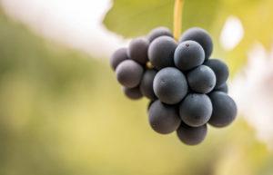 Jeune grappe de raisins