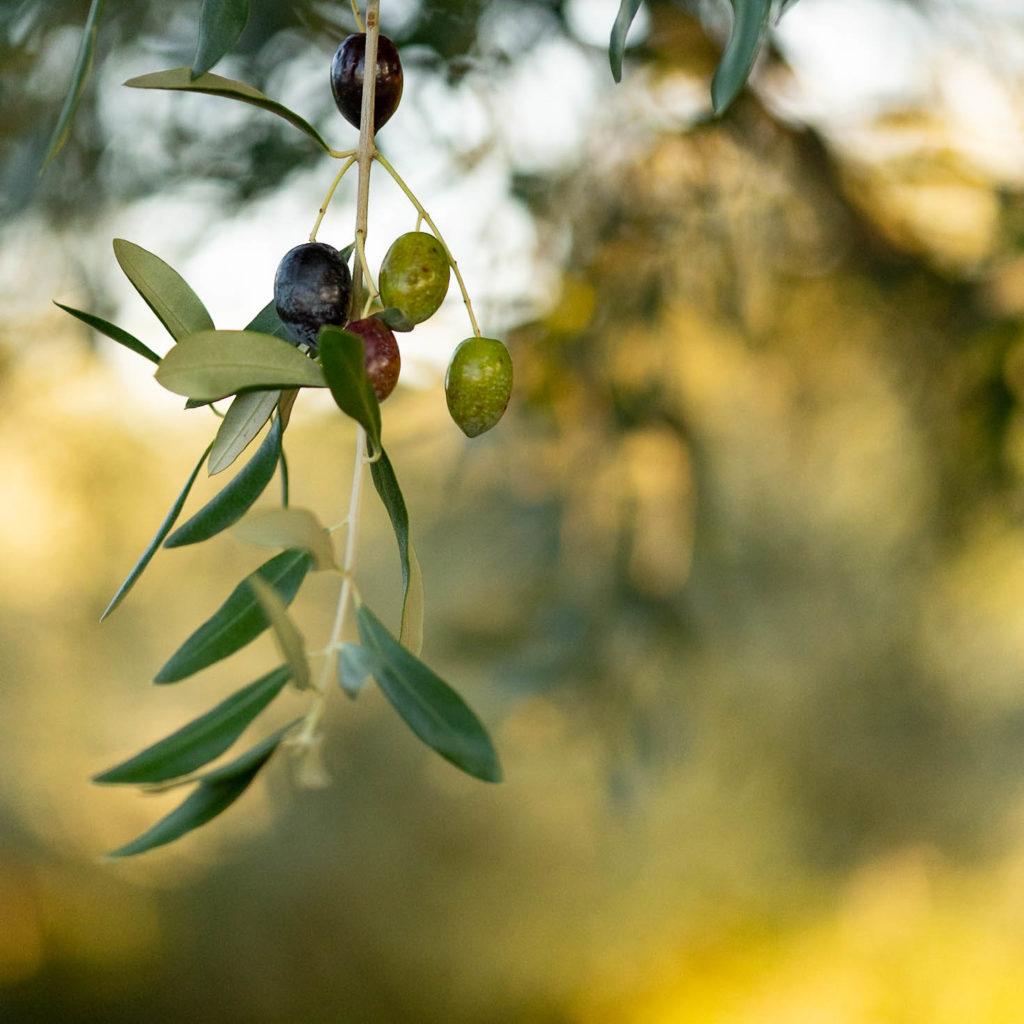 L'olivier, emblème du paysage méditerranéen